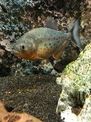 Piranha Serrasalmus Nattereri