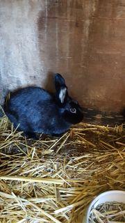 Zu verkaufen 3 kaninchen in