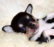 Zuckersüße Chihuahua Welpen mit Papieren