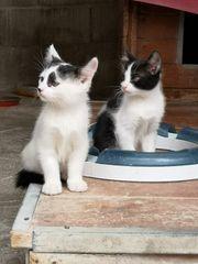 Katzenpärchen 3 Monate aus Mallorca