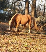 pony wegen umzug zu verkaufen