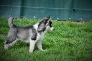 Siberian Husky eine süße liebe