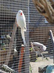 halsbandsittich Henne von 17 abzugeben