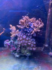 Stein Korallen Zoas Keniabäumchen