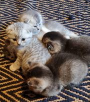 BKH Kitten in selten Farben