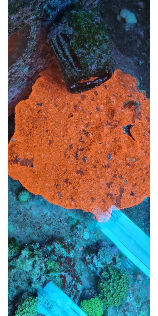 chalice redfire echinophyllia meerwasser koralle