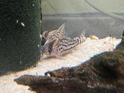 Corydoras schwartzii Schwartzbänderpanzerwels