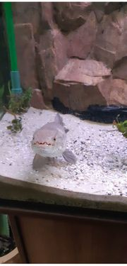 Kompl Aquarium mit Hoplias zu