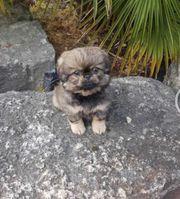 pekinese Welpen 9 Wochen alt
