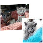 Russisch blau kitten babys