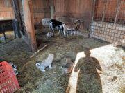 Pyrenäenberghunde Welpen mix Herdenschutzhund