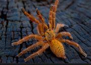 P Murinus Vogelspinnen