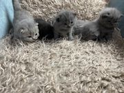 Reinrassige Bkh Kitten noch 3