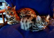 Wunderschöne Bengalkitten