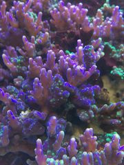 Koralle Acropora valida SPS