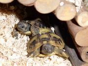 Niedliche griechische Landschildkröten Nachzucht Juli