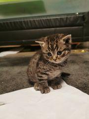 Mega süße BKH Kitten Tabby