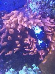 Meerwasser Kupferanemone