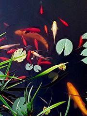 Goldfische in verschiedenen Grössen und