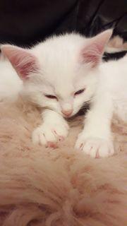 Weiße Siam Snow Katzenbaby abholen