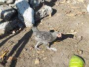 Habe noch einen jungen Hahn