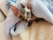 Kanadisches Sphynx Kitten