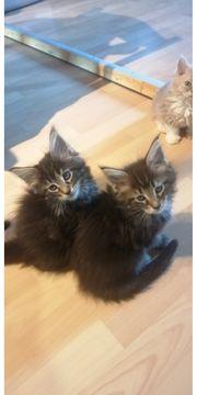 Maine coon xl Kitten Luna