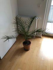 Palme Pflanze mittelgroß