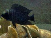 Tanganjika Altolamprologus calvus black congo