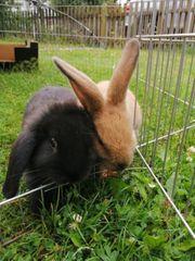 Junge Kaninchen m w abzugeben