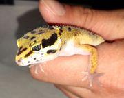 Leopardgecko männlich - Epsilon