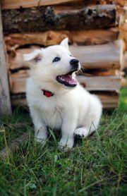 Große weiße Schäferhund Welpen