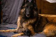 Belgischer Schäferhund Tervueren Welpen mit