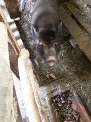 Ein schwarzes Schwein weiblich
