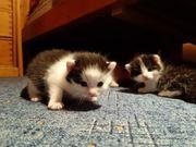 Baby Katzen zu verschenken