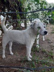 Parson Russel Terrier Hündin