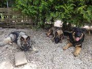 Altdeutsche-Schäferhunde-Junghunde direkt vom Züchter