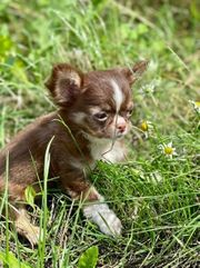Tyovolle Mini Chihuahua Welpen
