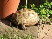 Weibliche Landschildkröten - Testudo T horsfieldii