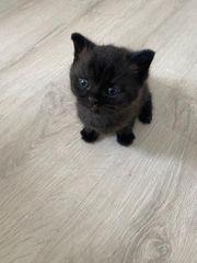 wunderschöner kitten mix BKH