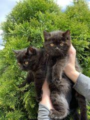 BKH Scottish Fold Kitten - suchen