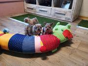 französische Bulldoggen Babys
