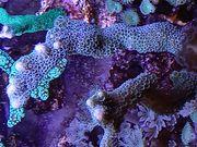 Nachzucht Korallen