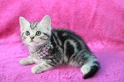 Schöne BHK Whiskaskatzen Weibchen und