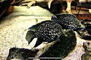 Paratilapia bleekeri spec Andapa Madagaskarbuntbarsch