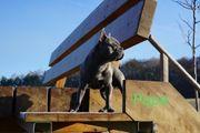 Reinrassige Französische Bulldoge Welpen