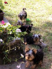 Verschmuste Yorkshire Terrier Mischlinge