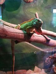 Grüner Leguan von Privat in