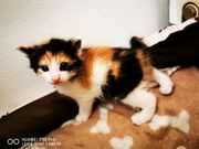 Maine coon Kitten tri-color Supersweet