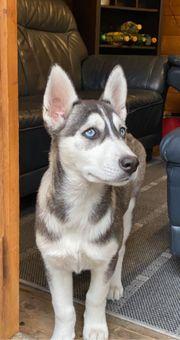 Husky Welpen 16 Wochen weiblich
